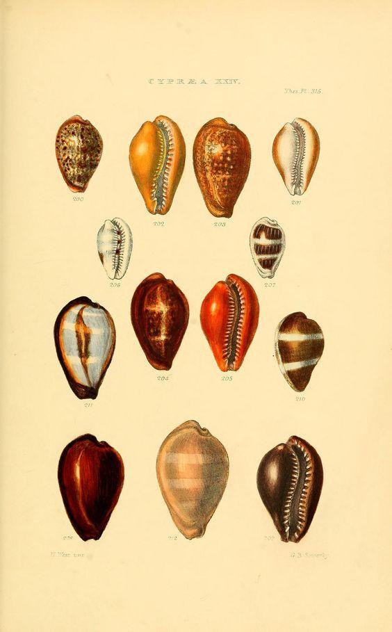 Kauri schelpen die meer dan 3000 jaar dienst deden als betaalmiddel.